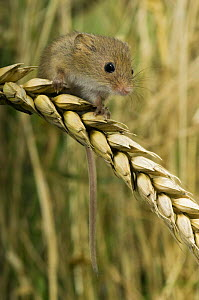 Harvest mouse {Micromys minutus} 2-week youngster sitting on ear of corn, captive, UK - Andy Sands
