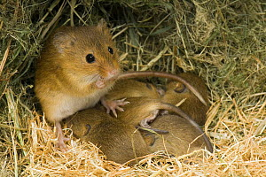 Harvest Mouse (Micromys minutus) mother with suckling 1-week babies in nest, captive, UK  -  Andy Sands