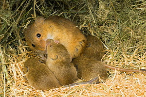 Harvest mouse {Micromys minutus} mother cleaning 1-week babies in nest, captive, UK - Andy Sands