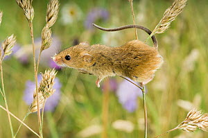 Harvest Mouse {Micromys minutus} climbing on Cocksfoot grass with wildflower meadow behind, captive, UK  -  Andy Sands