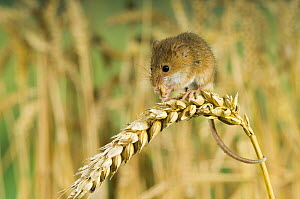 Harvest mouse {Micromys minutus} adult feeding on ear of corn holding on with prehensile tail, captive, UK - Andy Sands