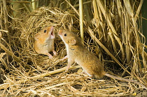 Female Harvest mouse {Micromys minutus} rejecting advances of male from ground nest in corn, captive, UK  -  Andy Sands