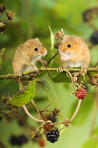 Two Harvest mice {Micromys minutus} perching on bramble with blackberries, captive, UK  -  Andy Sands