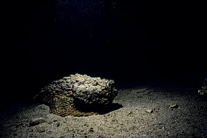 Poisonous Stonefish (Synanceia verrucosa) in sandy lagoon. Eygpt, Red Sea  -  Jeff Rotman
