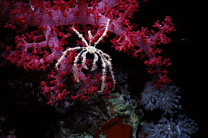 Decorator / Spider Crab (Achaeus spinosus) feeding   on Alcyonarian Coral (Dendronephthya sp.) at night. Egypt, Red Sea.  -  Jeff Rotman