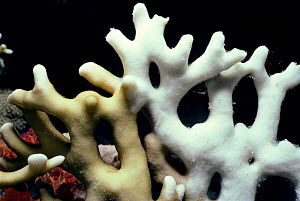 Ramified Fire Coral (Millepora tenella) close-up showing signs of bleaching. Egypt, Red Sea.  -  Jeff Rotman