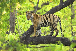Tiger {Panthera tigris} 14-month Lakshmi cub in tree, Bandhavgarh National Park, India. - Nick Garbutt