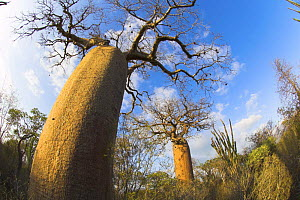 Bottle baobab tree {Adansonia rubrostipa} southern spiny forest, south of Toliara, Madagascar.  -  Nick Garbutt
