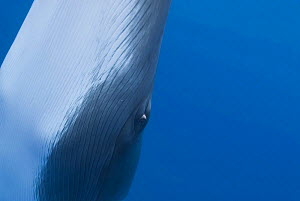 Dwarf minke whale {Balaenoptera acutorostrata} close up abstract showing eye, Queensland, Australia  -  Jurgen Freund