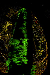 Bioluminescent fungi {Pleurotus nidiformis} glowing on tree trunk in rainforest, Queensland, Australia - Jurgen Freund