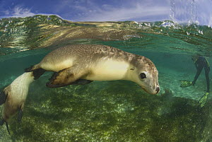 Australian sea lions {Neophoca cinerea} underwater with diver's flippers  in background, Fisherman's Island, Batavia Coast, Western Australia  -  Jurgen Freund