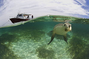 Australian sea lion {Neophoca cinerea} portrait underwater with tourist boat, Fisherman's Island, Batavia Coast, Western Australia 2006  -  Jurgen Freund