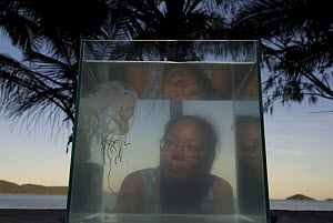 Woman looking at Box jellyfish {Chiropsalmus sp.} in fish tank on beach, Queensland, Australia 2006 - Jurgen Freund
