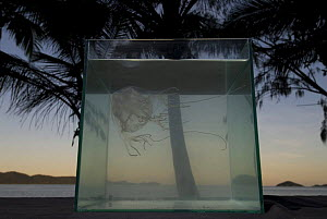 Box jellyfish {Chiropsalmus sp.} in fish tank on beach with palm trees in background, Queensland, Australia 2006 - Jurgen Freund