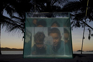 Boys looking at Box jellyfish {Chiropsalmus sp.} in fishtank on beach, Queensland, Australia 2006 - Jurgen Freund