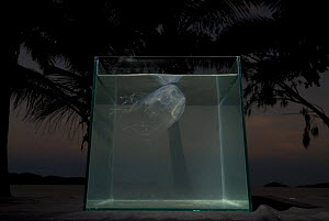 Box jellyfish {Chiropsalmus sp.} in fishtank on beach with palmtrees in background, Queensland, Australia - Jurgen Freund