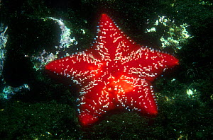 Red cushion star (Porania pulvillus) against dark background, Norway  -  Florian Graner