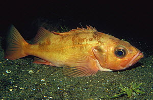 Rockfish (Sebastes) laying on sea-floor, Norway  -  Florian Graner