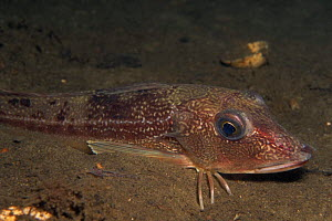 Tub gurnard (Trigla lucerna) on sea-floor, Norway  -  Florian Graner