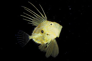 John dory (Zeus faber) showing 'evil eye' defensive markings and posture, Norway  -  Florian Graner