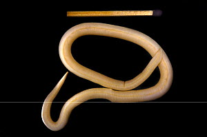 Roundworm (Ascaris lumbricoides) next to matchstick for scale.  -  SINCLAIR STAMMERS
