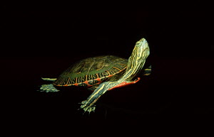 Painted Turtle {Chrysemys picta} swimming underwater, North America - Frei / ARCO