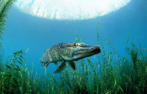 Northern Pike {Esox lucius} Germany - Frei / ARCO