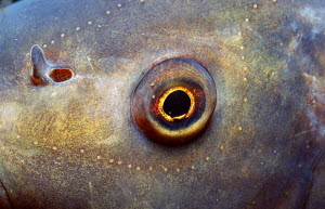 close up of eye and nose of Tench {Tinca tinca} Germany - Frei / ARCO