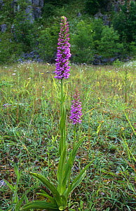 Fragrant orchid {Gymnadenia conopsea} growing in disused quarry, Derbyshire, UK - Geoff Scott-Simpson