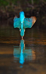 Common kingfisher {Alcedo atthis} adult diving / fishing, England - Charlie Hamilton James