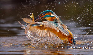 Common kingfisher {Alcedo atthis} adult male taking fish, England - Charlie Hamilton James