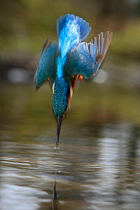 Common kingfisher {Alcedo atthis} adult male diving into river, England - Charlie Hamilton James