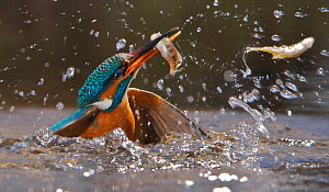 Common kingfisher {Alcedo atthis} female coming out of water with fish, England - Charlie Hamilton James