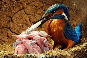 Common kingfisher {Alcedo atthis} male bringing fish to 8 day chicks in nest, England - Charlie Hamilton James