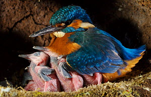 Common kingfisher {Alcedo atthis} male keeping chicks warm in nest, England - Charlie Hamilton James