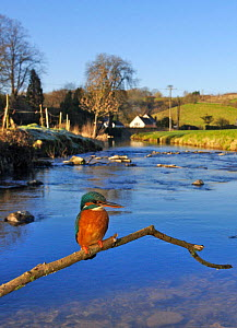 Common kingfisher {Alcedo atthis} adult perched on brach over river, England - Charlie Hamilton James