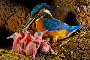 Common kingfisher {Alcedo atthis} adult with fish for chicks in nest, England - Charlie Hamilton James