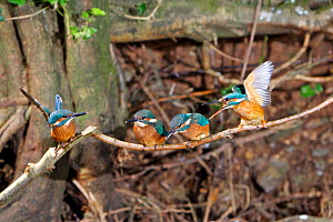 Common kingfisher {Alcedo atthis} female (right) being aggressive to chicks, encouraging them to disperse,  England - Charlie Hamilton James