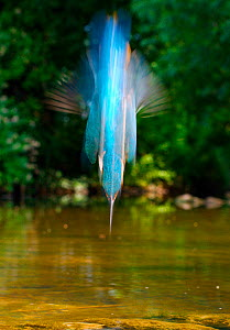 Common kingfisher {Alcedo atthis} diving abstract, S Glos, England - Charlie Hamilton James