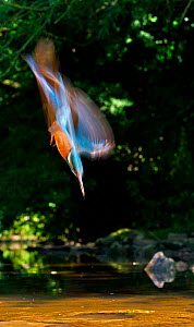 Common kingfisher {Alcedo atthis} diving abstract, England - Charlie Hamilton James