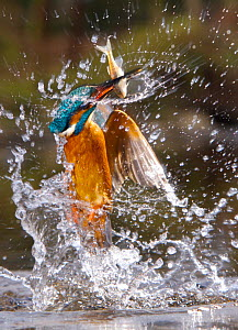 Common kingfisher {Alcedo atthis} flying up from water with fish, England - Charlie Hamilton James