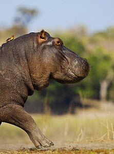 Hippopotamus {Hippopotamus amphibius} running with Oxpecker on its back, Chobe National Park, Botswana - Tony Heald