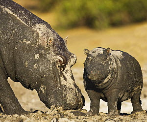 Hippopotamus {Hippopotamus amphibius} mud covered mother and baby, Chobe National Park, Botswana - Tony Heald