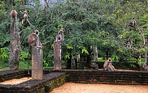 Tufted grey langur {Semnopithecus priam thersites} group amongst the Pollunaruwa ruins, Sri Lanka - Matthew Maran