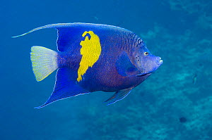 Yellowbar angelfish (Pomacanthus maculosus). Red Sea, Egypt.  -  Georgette Douwma