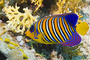 Regal angelfish (Pygoplites diacanthus) swimming past corals. Red Sea, Egypt.  -  Georgette Douwma