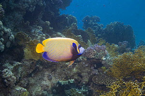 Emperor angelfish (Pomacanthus imperator). Red Sea, Egypt.  -  Georgette Douwma