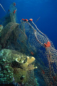 Fishing net caught on coral reef. Moluccas, Indonesia.  -  Georgette Douwma