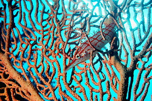 Longnose hawkfish (Oxycirrhites typus) resting in Gorgonian coral. Red Sea, Egypt.  -  Georgette Douwma