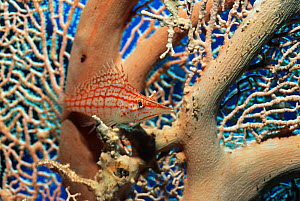 Longose hawkfish (Oxycirrhites typus) resting on Gorgonian coral. Red Sea, Egypt.  -  Georgette Douwma